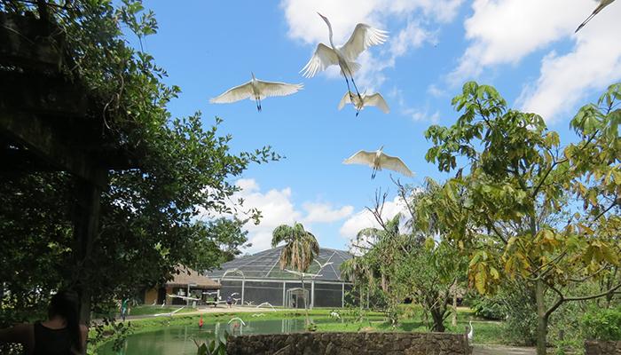 Voo das Garças no Mangal das Garças, Belém, Pará 002 - Mundo Gekos Receptivo