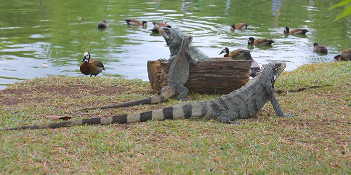 Iguanas no Mangal das Garças, Belém, Pará - Mundo Gekos Receptivo