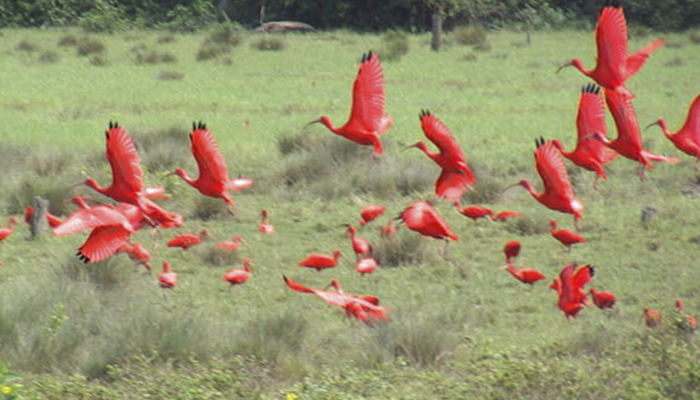 Revoada dos Guarás na Fazenda Bom Jesus, Soure, Ilha de Marajó, Pará 001 - Mundo Gekos Receptivo