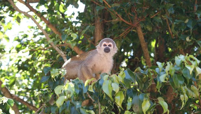 Macaco da Boca Preta, Amazonas 001 - Mundo Gekos Receptivo