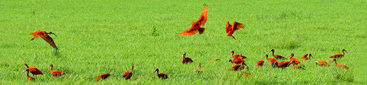 Revoada dos Guarás na Fazenda Bom Jesus, Soure, Ilha de Marajó, Pará 004 - Mundo Gekos Receptivo